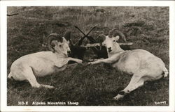 Alaska Mountain Sheep Postcard