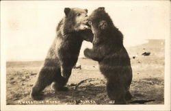 A Wrestling Match - Two Bears Face-to-Face Postcard