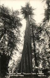 Ponderosa Tree, Tallest Tree Known