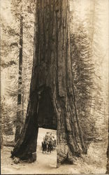 Riding Horse Team Through Redwood Tree