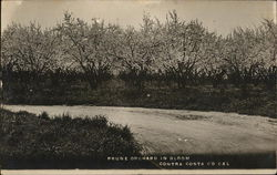 Prune Orchard in Bloom