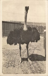 Full View of Black-Feathered Ostrich