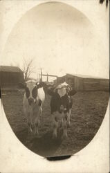 Two Black-And-White Cows