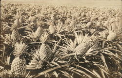 Field of Pineapple