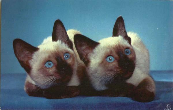 We Are Siamese Sisters - Kittens Cats