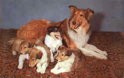 A Collie Family Postcard