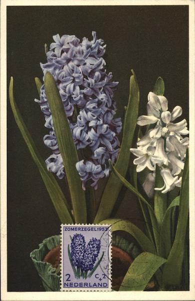 Hyacinthus Erieafalis Netherlands Benelux Countries