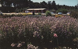 Mendocino Coast Botanical Gardens - Wild Aster at Entrance