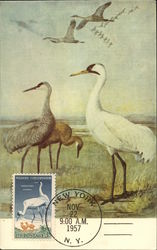 Whooping Cranes and Young