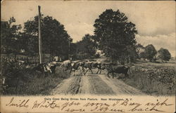 Dairy Cows being driven from Pasture