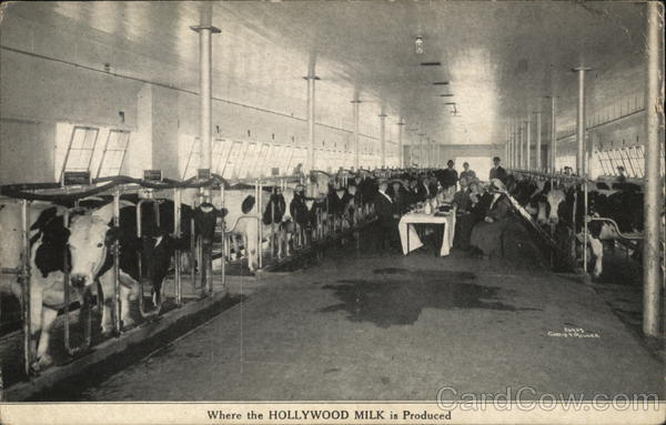 Where the Hollywood Milk is Produced. Advertising Cows & Cattle