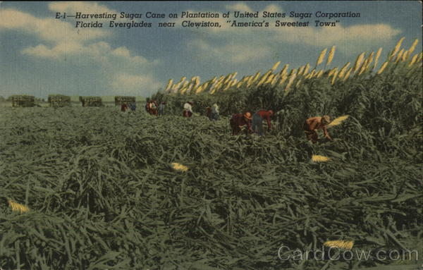 Harvesting Sugar Cane on Plantation of United States Sugar Corporation Clewiston Florida