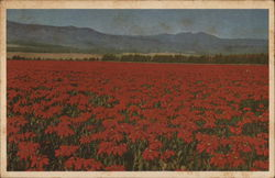 Field of Poinsettias