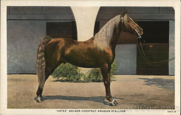 Antez - Golden Chestnut Arabian Stallion Horses