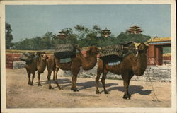 Camels Packing Coal at Coal Hill