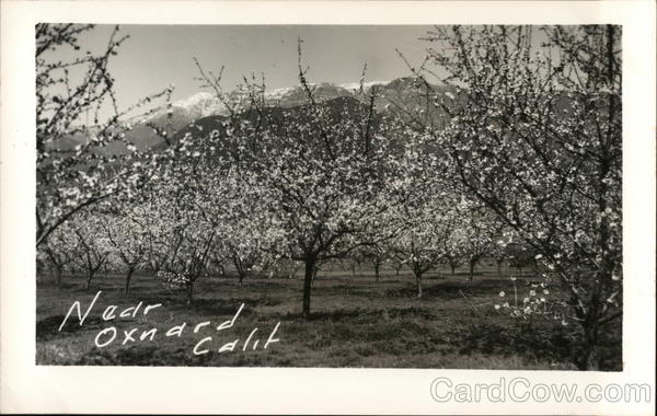 Apple Orchard in Bloom Oxnard California
