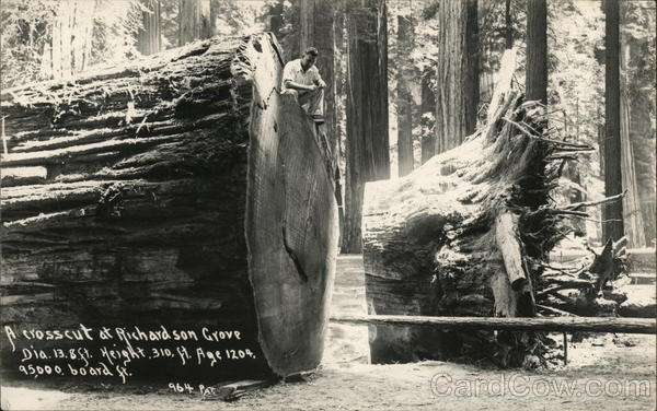 A Crosscut at Richardson Grove Logging