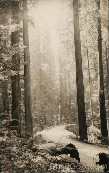 Redwood Scene Near Scotia, California