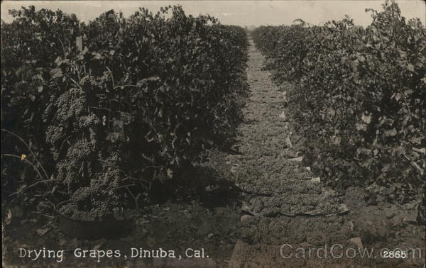 Drying Grapes Dinuba California