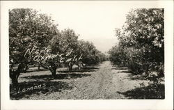 Rows of Lemon Trees Laden with Fruit