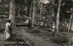 Rubber Tapping, Ceylon