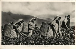 Plucking Tea, Up-Country