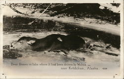 Deer Frozen in Lake Where it Had Been Driven by Wolves Near Ketchikan, Alaska