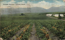 Pinapple Plantation