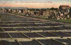Prune Drying in California, Santa Clara Valley