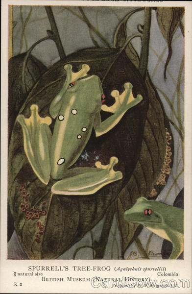 Spurrell's Tree-Frog Frogs