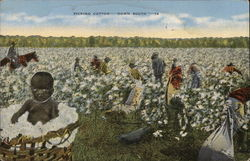 Picking Cotton--Down South