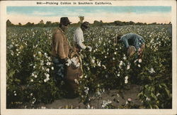 Picking Cotton in Southern California