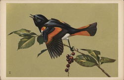 Redstart With Wings Half-Spread
