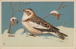 Eastern Snow Bunting