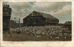 A California Pigeon Farm