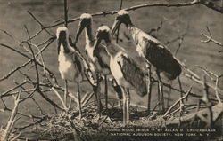 Young Wood Ibises