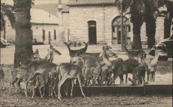 Tame Deer at the Quadrangle, Fort Sam Houston