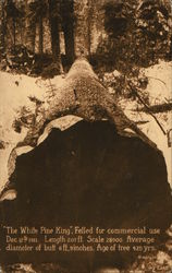 """The White Pine King"" Felled for Commercial Use Dec. 12th, 1911"