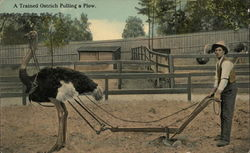 Trained Ostrich Pulling a Plow