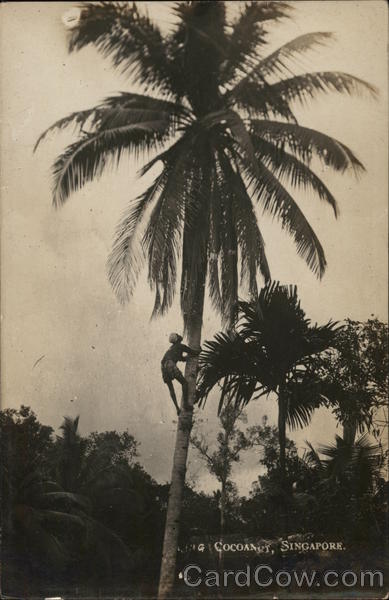 Coconut Palm Singapore Southeast Asia