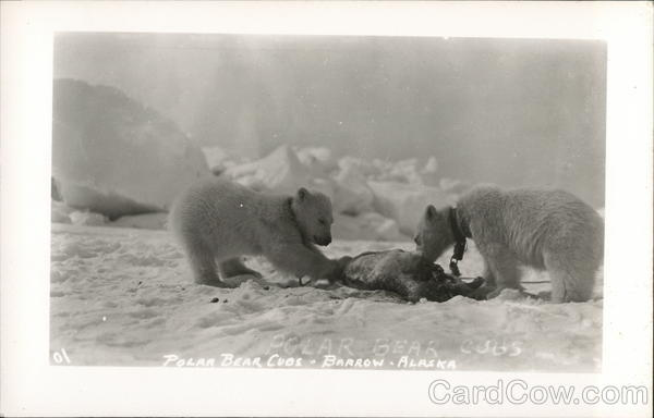 Polar Bear Cubs Barrow Alaska