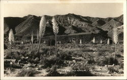 California Yuccas Postcard