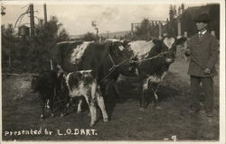 Cows of L.O. Dart
