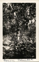 Cocoa Tree in Full Bearing