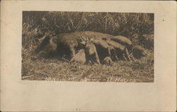 Warm Meals at All Hours - Mother Pig Nursing Babies