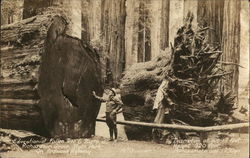 Educational Fallen Tree & Stump on Redwood Highway