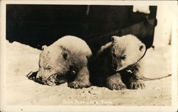 Polar Bear Cubs Postcard