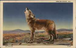 Howling Coyote Against Desert Background