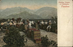Picking Grapes in California