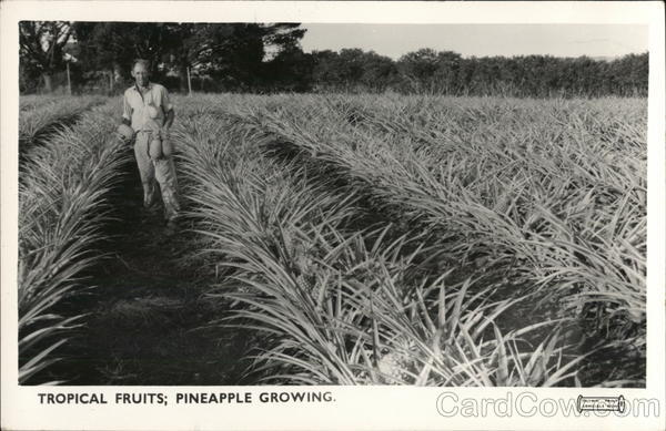 Tropical Fruits: Pineapple Growing Australia